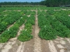 Test for TSWV resistance in peanut